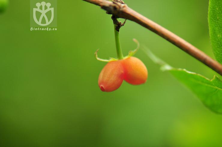 Lonicera fragrantissima var. fragrantissima