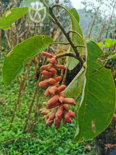 Magnolia opipara